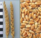 Семена пшеницы яровой 1кг