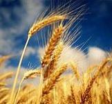 Семена пшеницы озимой Полесская 90