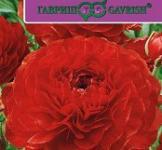 Семена Ранункулюс  Цветущая  Долина Красная 3шт