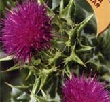 Семена расторопши пятнистой ТМ «Гавриш» (5шт)