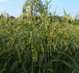 Семена проса на кормовые цели 1 кг