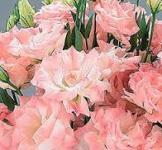 Семена Эустома АВС 2 F1 розовый туман 10 гран.