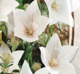 Семена Ширококолокольчик  Белый 0,1г