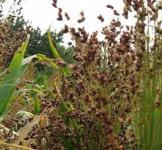 Семена сорго веничного 1кг