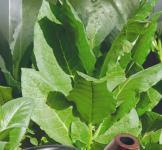 Семена табака Вирджиния 0,05г
