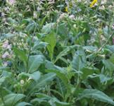 Семена табака Берли 0,1г
