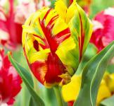 Тюльпан попугайный Texas Flame (Техас Флейм) 2шт