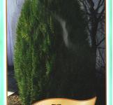 Семена Туя Восточная 20шт (Legutko Польша)