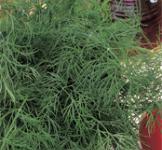 Семена укропа Салют  3 г