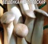 Семена мицелий грибов Вешенка королевская 10шт