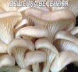 Семена мицелий грибов Вешенка весенняя 10шт