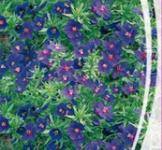 Семена Анагаллиса (0,1г)