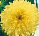 Семена Астры Принцесса Александра (0,3г)