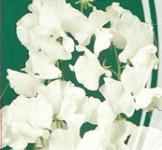 Семена Душистого горошка Жанэт (1г)