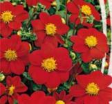 Семена Георгины Красная лента (0,3г)