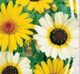 Семена Хризантемы посевной (0,5г)