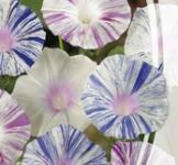 Семена Ипомеи Арлекин (1г)