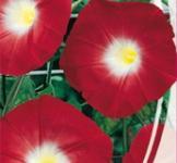 Семена Ипомеи красной (0,5г)