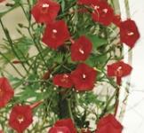 Семена Квамокликта Звезда-красавица (1г)
