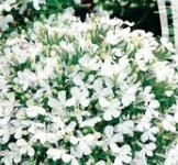 Семена Лобелии Белая леди (0,1г)