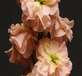 Семена Матиолы Колумн абрикосовая (1г)