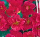 Семена Настурции махровой Вишенка (1,5г)