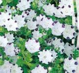 Семена Немофилы белой (0,5г)