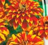 Семена Циннии Старое Мехико (0,3г)