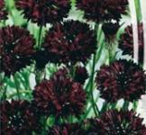 Семена Васильков махровых Черный шар (0,5г)