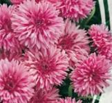 Семена Васильков махровых Розовый шар (0,5г)