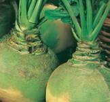 Семена брюквы Вильгельмбургская 2г