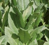 Семена Табака Вирджиния 0,1г