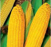Семена кукурузы Яровець 243 МВ