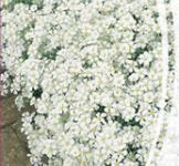 Семена Ясколка  Биберштейна 0,2г