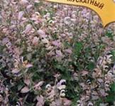 Семена шалфея мускатного Вознесенский 24 ТМ «Гавриш» (0,3г)