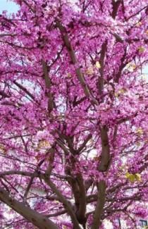 Церсис иудино дерево 2 шт