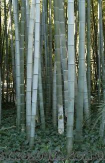 Семена Бамбука Морозостойкого 5 шт