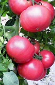 Насіння помідора Ляна рожева 0,2г