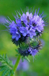 Семена фацелии (сидерат и медонос)
