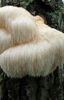 Гериций (лат. Hericium erinaceus)