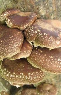 Мицелии ШИИТАКЕ (lentinula edodes)