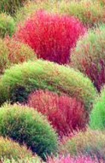 Семена КОХИИ летнего Кипариса 5 шт