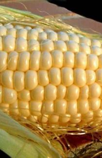 Насіння кукурудзи Любава 279 МВ 1кг