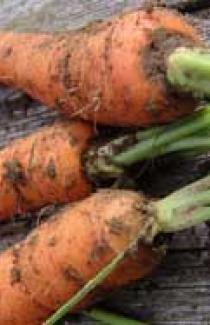 Семена морковь кормовая 0,2кг
