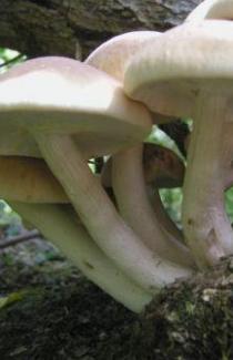 МИЦЕЛИЙ ОПЁНОК ТОПОЛИНЫЙ (Agrocybe aegerita)