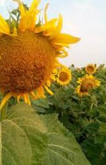 Насіння соняшника Персей 10 000шт