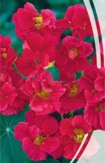 Насіння Красолі махрової Вишенька (1,5г)