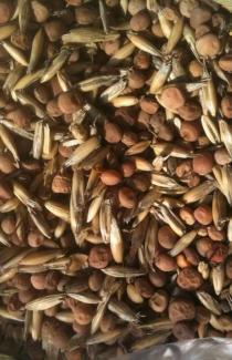 Купити сидерати насіння віко вівсяної суміші поштою оптом і в роздріб