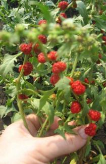 придбати насіння жмінди