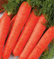 Насіння моркви Довга червона 100г (Коуел Германия)